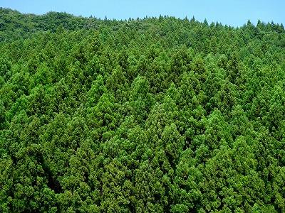 花粉を大量に飛散させる杉林
